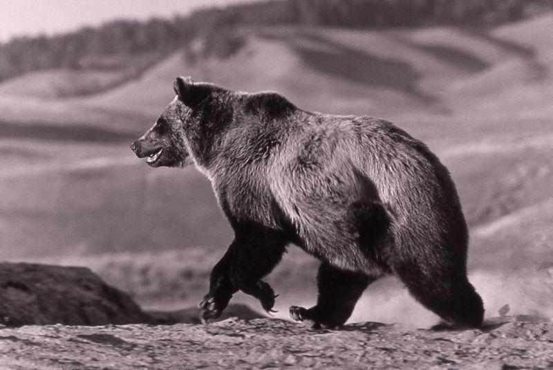 Grizbear